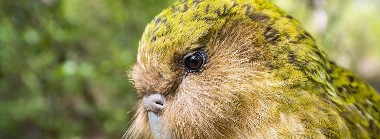 Папуга, який вдає себе кущем, став птахом року в Новій Зеландії (ВІДЕО)