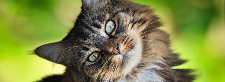 Вчені з'ясували, чому коти так перебірливі в їжі