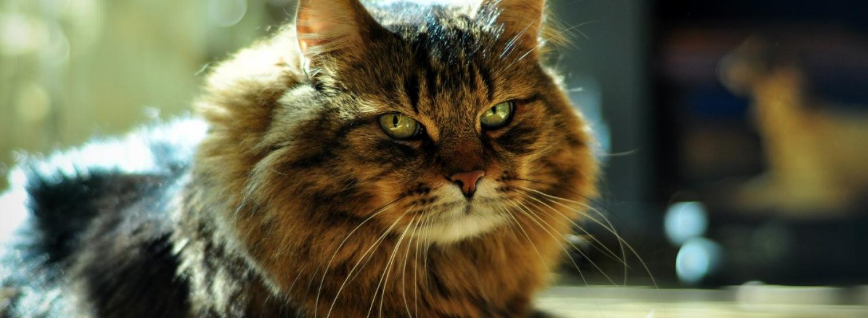 Самозакоханий кіт «завис» перед дзеркалом (ВІДЕО)