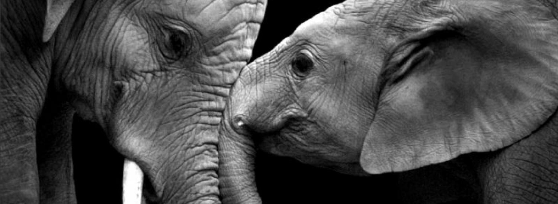 Вухасті слони, які знають, що таке кохання (ФОТО)