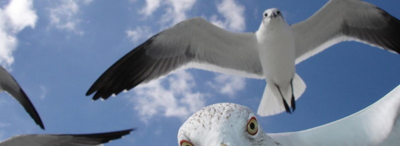 Побилися: в Шотландії чайка вкрала відкушений язик