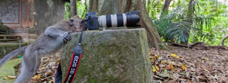 Макака швидко опанувала професію фотографа