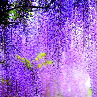 Пориньте у казку: де можна побачити найкрасивіше в світі 150-річне дерево гліцинії