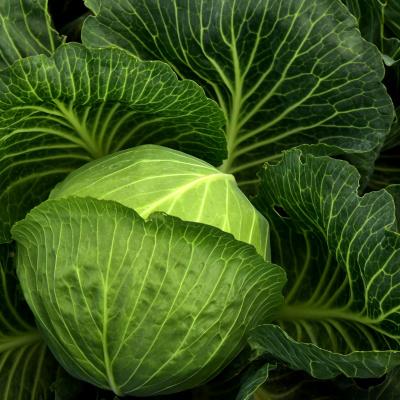 Їжте капусту та худніть: дієтологи розповіли про користь білокачанної капусти