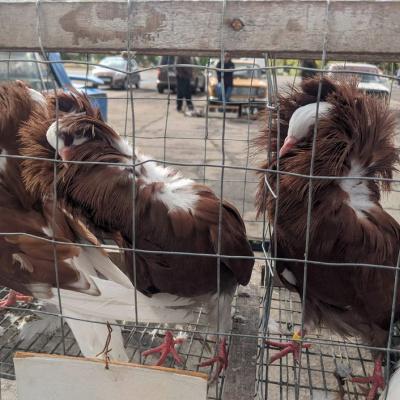 Виставка-ярмарок голубів, курей і кроликів відбулася у місті Рубіжному (фото)