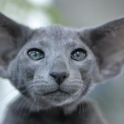 Чарівний подарунок: маленьке кошеня виросло і перетворилося на кумедне вухасте диво