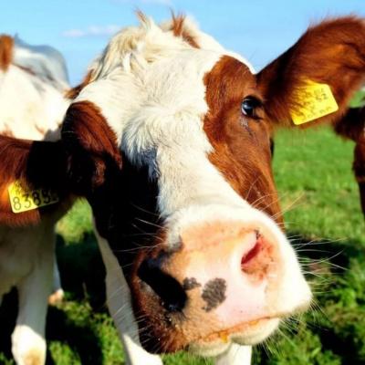 Лівія відкрила ринок для нової категорії товарів українського тваринництва