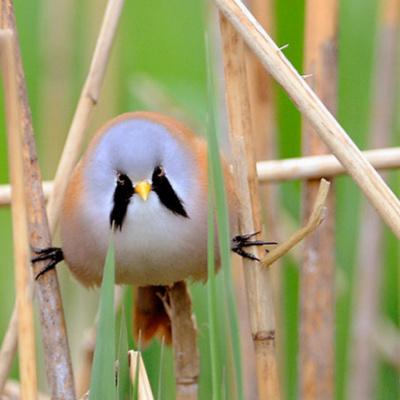 Вусата синиця: смішний круглий птах, який вміє робити ідеальний шпагат (ФОТО)