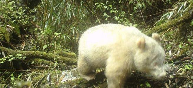 Єдина в світі гігантська панда альбінос потрапила на відео