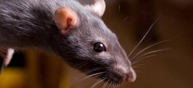 Вчені виявили останки найбільших щурів в Євразії
