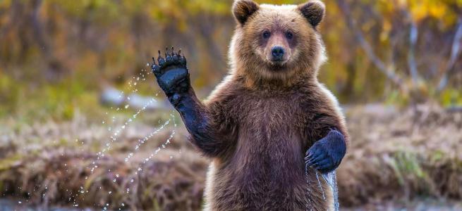 Привабливий та зголоднілий ведмідь став зіркою мереж