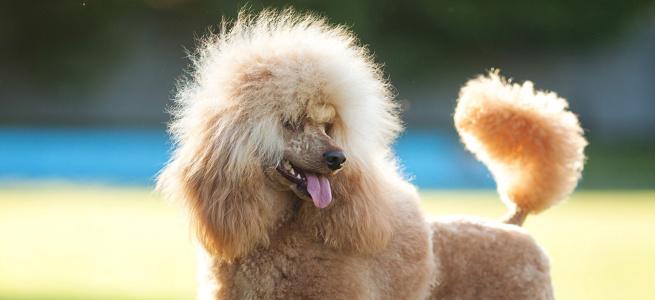 Найагресивніші собаки на думку вчених: перелік