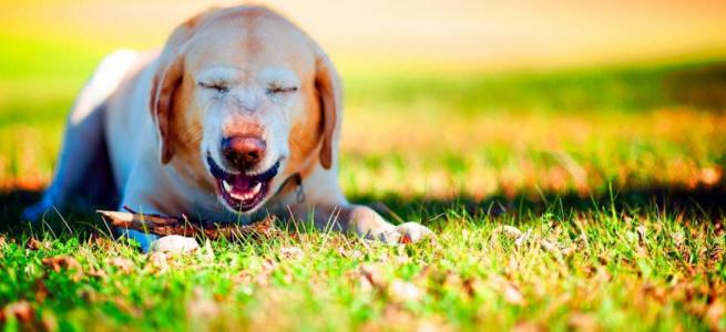 Немов барахлить моторчик: дивне чхання пса розсмішило мережу (ВІДЕО)
